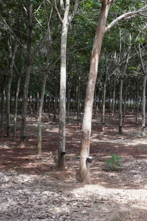 Rubber trees at Thailand  photo