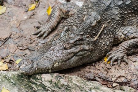 crocodile sleeping Stock Photo - 23131805
