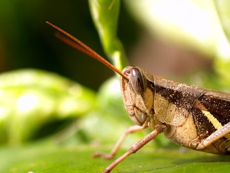 hopper: a bug insect  hopper  in  nature       Stock Photo