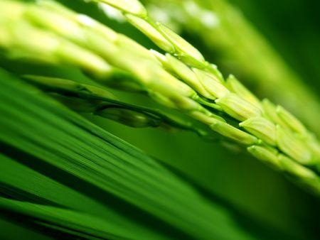 a  photo of   Rice farm  in  thailand