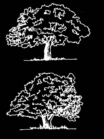 beech tree beech: Vector trees with leaves