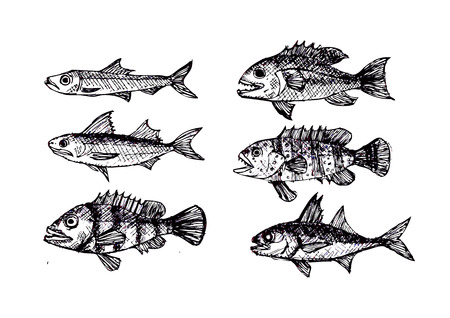anchovy: Hand drawn fish Vector illustration  Illustration