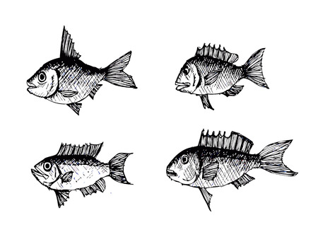 sturgeon: Hand drawn fish Vector illustration  Illustration