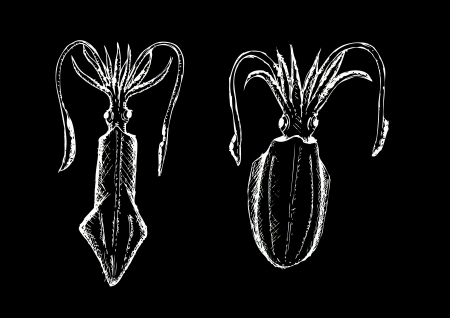 devil fish: octopus sketch