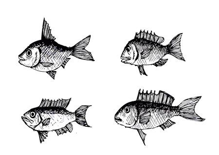 anchovy: hand drawn fish Vector illustration  Illustration