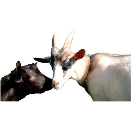 two: Two goats. Vector illustration