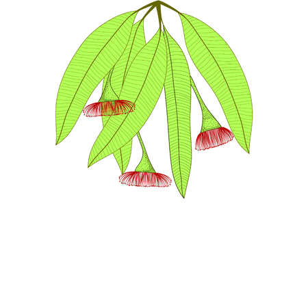 Eucalyptus leaves and flowers. Isolated eucalyptus on white background. Vector illustration