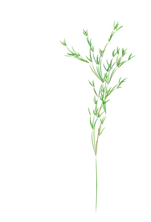 Reed stems , sugar cane or bamboo leaves, thin narrow leaves.Different shades of green. Isolated on white background