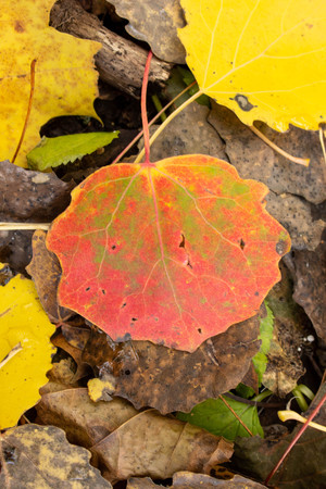 Close-up of wet colorful fallen aspen leaves in the fall