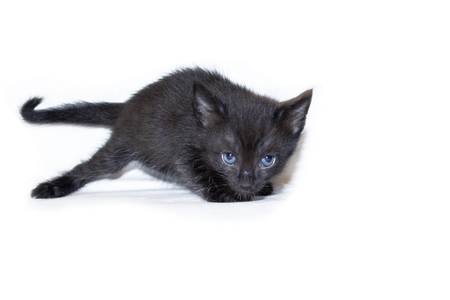 A small black kitten with blue eyes, age one month, mixed breed. On white background.