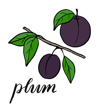 Plum on a branch with leaves. Drawing of a plum with a green leaf. Vector picture drawn by hand.