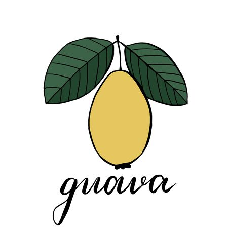 Guava fruit with two green leaves. Vector illustration, drawing of guajava fruit and the inscription under it. Illustration