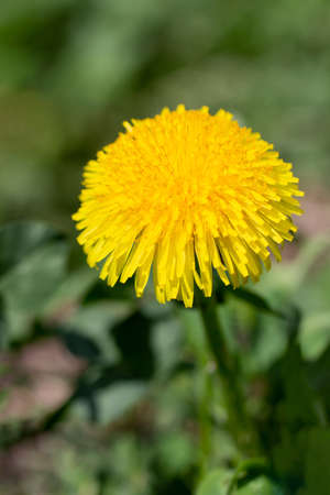 Blossoming bright yellow dandelionsin the park in spring. Dandelion flower close up. Banco de Imagens