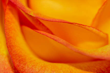 Yellow rose with red edges. Isolated, macro background Banco de Imagens
