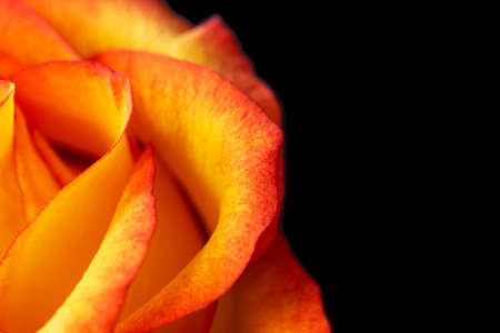 Yellow rose with red edges. Isolated, macro background. Orange rose Banco de Imagens