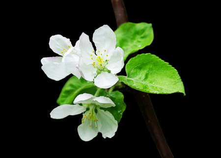 A branch of apple tree with a bunch of white flowers and green leaves. Spring blossoming apple tree.