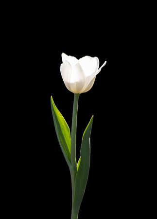 White Tulip isolated on a black background. White flower illuminated by sunlight.
