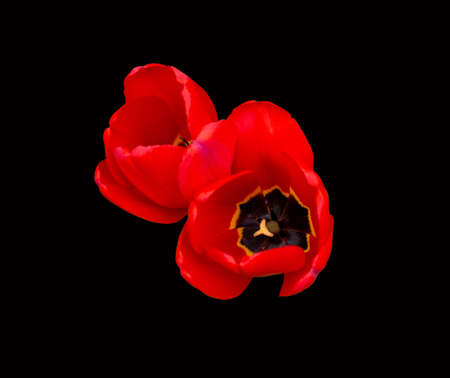 Two red Tulip flowers isolated on a black background. View from above
