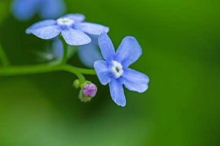 Macro shot of beautiful the little blue forget me not flowers. Blue flowers on a green background Banco de Imagens
