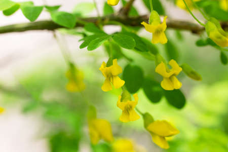 Blossoming yellow acacia with leaves on green background. Cassia fistula yellow flowers. Acacia flowers on long branch. Closeup, selective focus