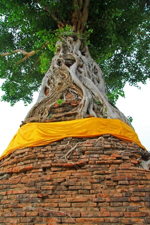 A Bodhi Tree growing on old stupa, in Ayutthaya, Thailand photo