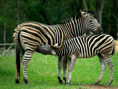 Mother and a baby Zebra photo