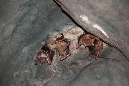 A group of bats hanging upside down in the cave, Thailand - Asia