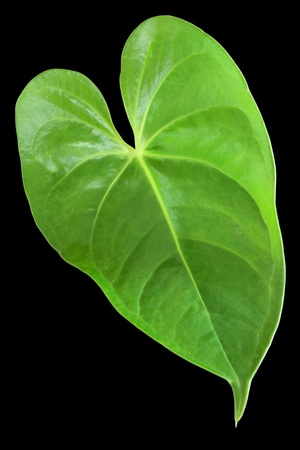 leaf shape: Green leaf with a shape of heart isolated on black background