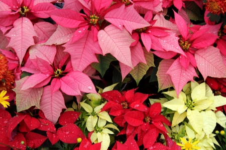 Poinsettia  Euphorbia Pulcherrima    Bloom in Yellow, Pink, Red Colors Stock Photo