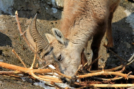 A Young Steinbock, The Alpine ibex, eats Twigs during the Winter in Alps photo