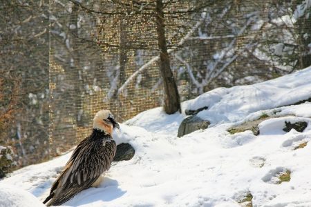 Bearded vulture, The Alpine bird of prey during the Winter photo