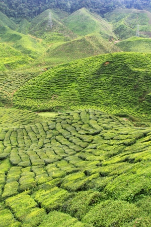 cameron: Tea Plantation at the Cameron Highlands, Malaysia, Asia Stock Photo