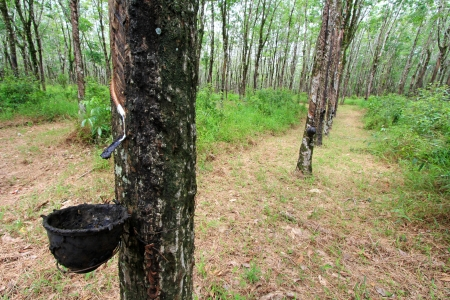 The Para Rubber Tree  Hevea brasiliensis  plantation in the south of Thailand photo