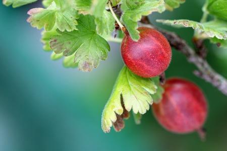 grosella: Primer plano de grosella fresca madura de cosecha