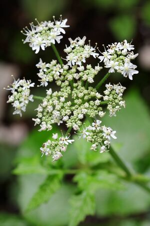 caraway: Caraway plant with white flowers showing pollens Stock Photo