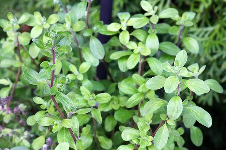 Closeup photo of Wild marjoram in the garden