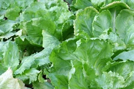 endivia: Inicio crecido Ensalada de endivias frondosas hojas en el jard�n Foto de archivo