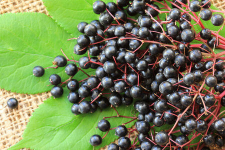 Freshly picked Elderberry  Sambucus Berries  on the leaves