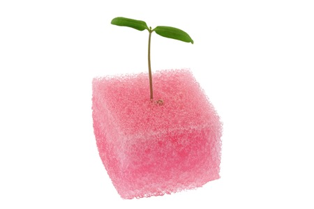 germinación: Hidropónico de tomate Brote de una esponja de color rosa