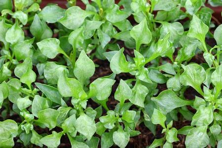 berros: Inicio de cosecha propia Berro Nasturtium officinale en el jardín Foto de archivo