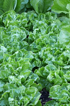 curly leafed: Home grown Broad-leaved Endive Salad leaves in the garden