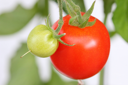 home grown: Huge home grown tomato in Europe