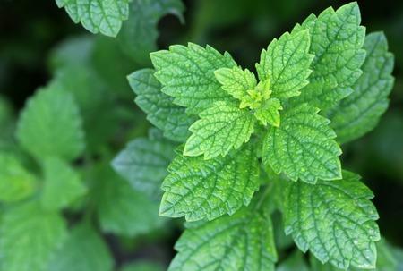 plantas medicinales: Bálsamo de limón fresco en el jardín Foto de archivo