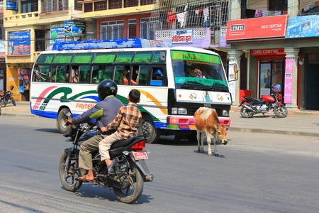 POKHARA, NEPAL - APRIL 2014 : A cow roaming the street freely in Pokhara city, Nepal on 15 April 2014. It is not permitted to harmed cows as they are considered holy and sacred to Hindus. Editorial
