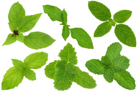 spearmint: A group of basil and mint leaves isolated on white. Upper row from left to right : Thai sweet basil, Hairy Lemon Basil, Holy basil. Lower row from left to right : Spearmint, Asian Mint, Kitchen Mint