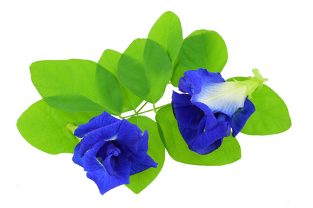 Fabaceae: Closeup photo of Clitoria ternatea (Butterfly Pea, Blue Pea), isolated on white