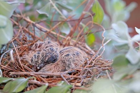 fledgling: A nest of Fledgling Zebra Doves on a Neon Tree