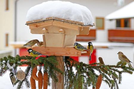 tetas: Aves paseriformes coloridas Las Tetas comer semillas de girasol en el invierno en Austria
