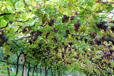 food and wine: Vineyard in Lana, South Tyrol in northern Italy
