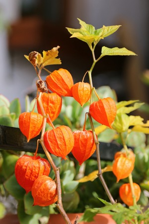 chinese flower: Chinese Lantern Plants Physalis alkekengi during Autumn in Europe Stock Photo
